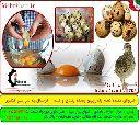 فروش عمده تخم بلدرچین