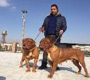 خرید فروش انواع نژاد سگ